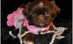 solid chocolate lil female with sparkling amber green eyes. she will be no bigger then 7 lbs with short legs and short back She has such a cuddly personality, and loves attention she is potty trainied. she is ready for her forever home, she has be checked