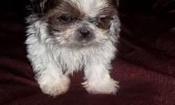 Its a Small World After All      Imperial Shihtzu Male Puppy  $1500.00  10.5 weeks old wt 27 oz charting to be 4 lbs as an adult  Mother is 5 lbs Father is 4 lbs