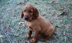 Beautiful dark mahagony Irish Setter puppy ready for his new home this week 12/16/12! Very intelligent, vet checked, first set of shots and deworming, registration papers and his own puppy toy! Come visit to meet the little guy!