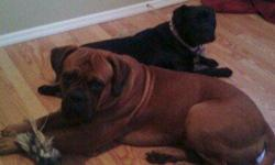 Mother, Layla, is a small Italian Mastiff (cane corso) weighing about 70lbs, and father, Diesel, is a muscular Bull Mastiff weighing about 120lbs. Puppies were born on May 17th. READY TO GO NOW! Vet checked, with first shots & dewormed on July 11th. They