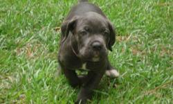 Italian Cane Corso Mastiff Females from June litter. 12 weeks old and ready to find a forever home. Tails have been docked and dew claws removed. up to date on all dewormings and vaccinations. Please visit our website for more information!