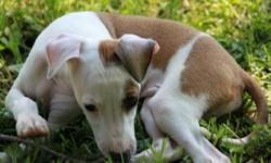 Five cute and adorable italian greyhound puppies for sale. Four males and one female with champion bloodlines. Nine weeks old and ready to go to a good home. If interested please call: Mark at 507-227-7963 or Marie at 507-227-6780.