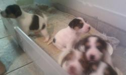 pure bred jack russels. three male puppies. call 202 326 3100