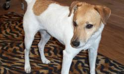 Jack Russell Mix, male, found on Sleepy Hollow.
