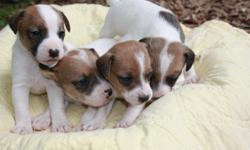 Jack Russell Puppies for sale! Males and Females, tailed docked and wormed. Really to go! Born April 14, 2011?..$175 each, call quickly for pick of the litter!! For more pictures email jcole57@gmail.com Abby and Sam are the parents! Please call