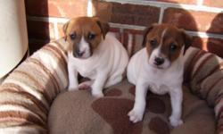 Two male CKC Jack Russell puppies will be 6 weeks old on 12-14-10. Tails docked,wormed, and will have 1st shots at 6 wks and will be ready to go to a loving home just in time for Christmas. Sire and Dam are on premises. Very playful and full of energy.