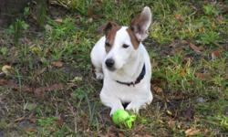 CKC registered Jack Russell for stud.  I would like to stud out my dog for pick of the litter.  He is a short leged, smooth coat with short hair, the kind for pets not for field trials.  He is one of a kind and I want another just like