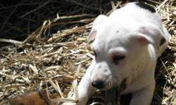 Jack Russell Terrier Puppies For Sale 2 Boys $150 1 Girl $175 Have First Shots. Tails and Dewclaws are done.