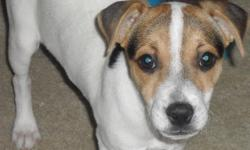 Adorable puppy. Purebred. 4 Months old. Tri - Colored - Tan, Black, White. Great for Hunting. This puppy is very well socialized with kids and other dogs. Filled with energy loves to play. Looking for a good home with a wonderful family.! I am moving out