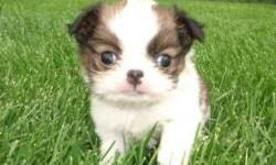 The Japanese Chin is a charming, lively, and happy animal. Pleasant, loving and intelligent. Affectionate and extremely devoted to its master. They are good with other dogs and pets. The Japanese Chin has a mind of its own and likes to be the center of