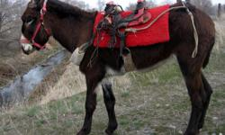 Ella Mae is a four year old female donkey (jennet).  She is black with white points and stands 13.1 hands high.  She is broke to lead, load and carry a pack saddle.  She would make a good companion for the right youth.  If you