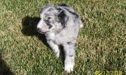 Four AKC Australian Shepherd Puppies born 11/4/12. Two males & Two females left out of an exceptional litter. Please call for more information --