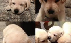Puppies were born on October 30, 2012.  They will be ready for a new home just before Christmas. We have 1 male and 2 females left.  All are yellow labs. The Dam is 55lbs 21 inches and the Sire is 75lbs and 24 inches.  All puppies have