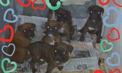 Very adorable purebred boxer puppies. 3 males and 3 females. Born 12-17-10 and ready for a new family on 2-11-11. Tails, dew claws, and first shots already done. Very social and paper training started. Both parents on premises. Great family pets, very