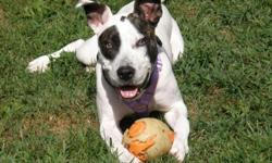 Karma is a 15 month old pitbul terrier mix. She was rescued from a bad situation last summer where she suffered abuse resulting in a broken leg. Karma underwent a successful leg surgery and she is good as new. Karma has been in foster care for a year and