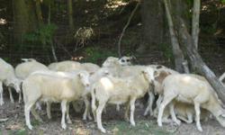 1, 4 yr old Registered RR Katahdin Ram, 2 Registered Katahdin Ram Lambs, 3 commercial grade ram lambs, 4 ewe lambs and 5 weathers. Visit us at www.keattsfarm.com or call 931-232-7859.