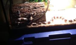2-3 year old brown and white banded king snake. Handled on a regular basis, call if interested --.