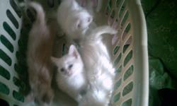we have 2 pure white female kittens (short-haired) one pure white male (long-haired) and one tan and cream colored female(short-haired) all four are free to good homes and our weened and ready for a family. if anyone is interested we also have the mother