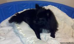 We only have 3 beautiful female La Pom puppies left for sale. Available Sept 22, 2011. La Poms are a Designer/Specialty (hybird) breed! All three are black and white. They love people and are started on potty training; very quick learners and love to