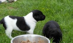 10 Lab mix puppies (mom-lab, dad-golden retriever and sheppard) 6 males and 4 females Colors: black, black & white, black & brown Puppies have been wormed We are currently working on potty training them and they are eating solid food (puppy chow)