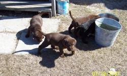 WE HAVE CHO AND BLK PUPPIES MALES AND FEMALES THEY HAVE THERE SHOTS AN HAVE BEEN WORMED. PLEASE CALL OR REPLY QUICK THERE GOING FAST HAVE 6 OUT OF 9 LEFT THRY WENT TO A GREAT HOME.904-524-8515 OR 904-537-0912 OR REPLY TO AD