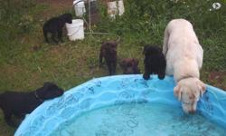 """Akc lab puppys ready for your home."""" Gunstock smoking"""" championship line,"""" budwiser"""", champion ship line. Only 3 blacks left.Puppys carry yellow & chocolate in there genes. Mother is yellow, and father is chocolate. Located in Cave Junction,"""" Oregon"""" area"""