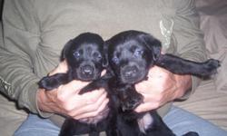 Have lab pups for sale.  Born 10/15/2012.  Purebred, but not AKC registered.  1 black male, 3 black females.     Six weeks old 11/26/2012.  Ready to go their new home.  Parents on site.