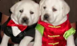 Lab Retriever Pups, white to cream color. AKC, parents are OFA, English stock, Champion lines. Excellent mellow temperament.