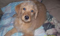 9 week old female labradoodle, first generation, mom is chocolate lab, dad is apricot standard poodle. Working on housetraining, gets along well with other dogs and cat. For more info call 814-623-3352. Thanks