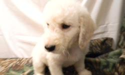 All white non shedding male Labradoodle, second generation. 740-294-7723