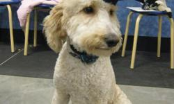 11 month old male Labradoodle...Non shedding. great with kids and other dogs. Very inteligent, and loves to be trained..graduated from puppy training classes. He is an awesome family dog.. I just don't have the time to spend with him that he deserves.