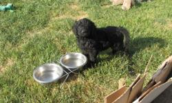 Beautiful Labradoodle pups for sale F1B ( 5th generation with pedigreed poodle mix ) Labradoodles have the best coats for those of you who suffer from allergies or asthma, and those of you who want the least amount of dog hair in your house. . They are