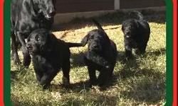 We have black Labradoodles.They were born October 25th. Parents on site: Beauty's (AKC Black Lab) and Sparky's (AKC Standard Poodle) puppies.  This makes the puppies F1 Generation Labradoodles. This picture is the pups at 6 weeks of age