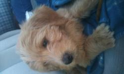 Adorable  Apricot  and red labradoodles for sale to a good home. Have had 1st shots and have started potty training.