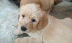 ADORABLE TAN, RED, APRICOT, CREAM AND WHITE LABRADOODLES ready 12/08/2012. shots and wormed great companions.