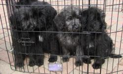 Labradoodle puppies for sale. Parents on site. Mother is a 50 lb chocolate lab. Father is a 70 lb black standard poodle. 1st shots and dewormed. Females - $100, Males - $100. Please contact 708-935-1156 day or night - thomas_amann@msn.com