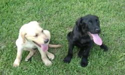 AKC registered yellow male lab puppies; going fast only two left.