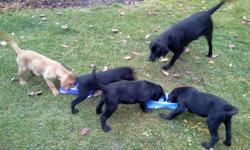 Registered AKC labs 12 weeks excellent blood lines 3left
