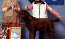 Lab Pups AKC/OFA/CERF Clearances CHAMPION SIRE ALSO HAS CARDIAC AND OPTIGEN CLEARANCES VET CHECKED SHOTS AND WORMED RAISED WITH CHILDREN AND WELL SOCIALIZED BEAUTY AND BRAINS MUST SEE www.labrador.retrievers.com trosen@cox.net 757-570-1175