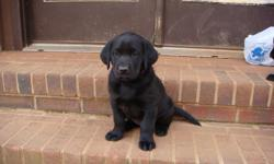 AKC registered lab puppies. Beautiful Classic Black. 2 male, 2 female. Ready for new homes on March 6. Parents on site. E-mail rltclt5@bellsouth.net for more information.