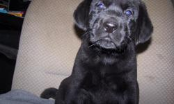 AKC Black Lab male puppy ($600) born on September 10th. Ready for his new home on Nov. 5th. The Mother, Alexia, is an AKC black Lab, who is OFA hip and elbow certified, and the father, Carbon, an AKC black Lab who is OFA hip certified. OFA is the