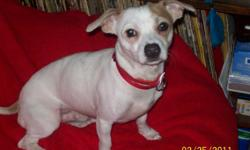 Large Male Chihuahua (12lb +) for stud service white with tan markings and short hair. Registered through Continental Kennel Club. I have a yard that is escape proof for any dog large enough to breed with him. He gets along with animals but not