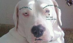 $1500. REWARD (no questions asked) White-Female-one blue eye and one hazel eye. Hanah is an American Bulldog, but could be mistaken as a pit or boxer. She has been missing since the Joplin, MO tornado. She was ripped from her family's arms into the