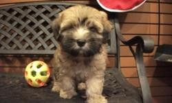 The Lhasapoo is affectionate, loving, and loyal. They are very family oriented and do not do well if ignored or left alone for extended periods of time. Boredom or loneliness will lead to destructive behavior and incessant barking. They do best in a home