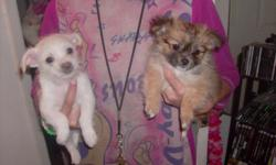 2all white 2 blk & brown very tiny will be no larger then a toy poodle 1 girl 3 boys rehm fee 100.oo 702-738-1450 sherry 8 weeks old