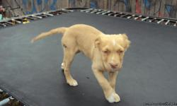 Super cute blondie pups he's 10 weeks old and and bundle of fun. He's been dewormed and had his first shot, the pup is really laid back and love to play when he's not sleeping he gets along well with cats and other dog. We hope to find him and good