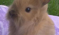 Beautiful baby lionhead rabbits ready for new homes black or torte color. Mature 4-5 lb. Can be indoor or outdoor pets.