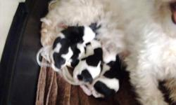 Litter of 4 Papitese puppies. Three female and one male. They are $650 each. They are half Maltese and half Papillon which makes them Papitese. They are registered with the ACA. Puppies were born on April 11th and will be available for adoption on June