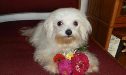 SMALL Maltese puppies, white. Right around 6 pounds. Parents on site. Playful and happy personality.One male. Current on shots and wormings. Health guarantee and CKC registration included. Contact phone number: -- ****Located