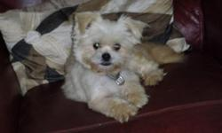 Lizzie is a healthy and playful female Pom-shih (Pomeranian/Shih Tzu mix) dog. White with a touch of light apricot on feet and tail. About 5 yrs old and 5 lbs. Requires special dry food that cost $28 for 8.5 lb bag... only eats 1/4 cup two times a day.